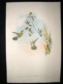 Gould Family of Hummingbirds C1860 HC Bird Print. Golden Throated Hummingbird